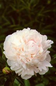 Peonies_paeonia_minuet-1.medium.detail
