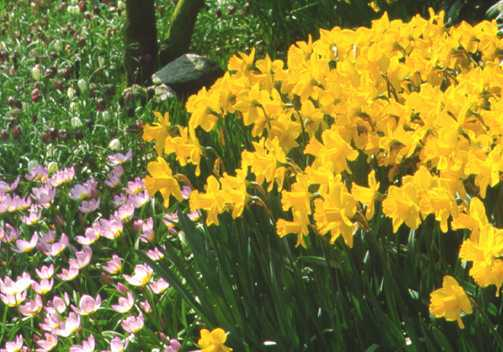 Daffodils_and_narcissus_narcissus_x_arctic_gold-1.full