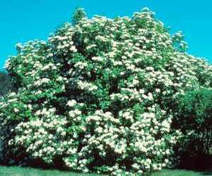 Cranberry Bush, American