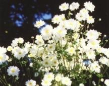 Anemone, Japanese 'Whirlwind'