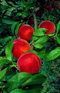 Peach Tree, 'Stark® EarliGlo™' standard