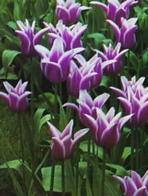 Tulips_tulipa_ballade-1.full