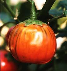 Eggplant_solanum_melongena-1.full