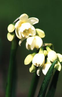 Daffodils_and_narcissus_narcissus_erlicheer-1.full