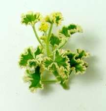 Scented_geraniums_pelargonium_crispum-1.full