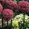 ornamental onion