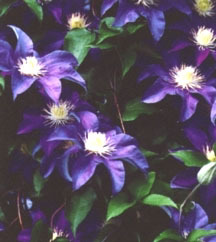 Clematis, Large-Flowered 'H.F. Young'
