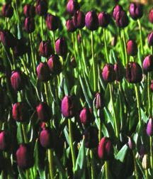 Tulips_tulipa_queen_of_night-4.full