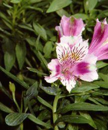 Peruvian Lily, 'Hot Pink'