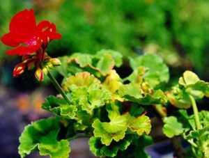 Zonal Geranium, Dark Red Irene