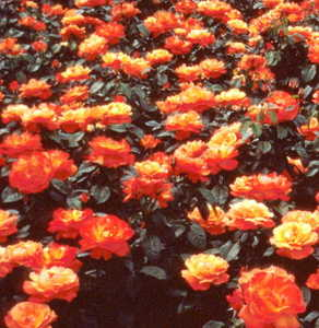 Rose, Floribunda 'Livin' Easy'™