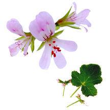 Scented_geraniums_pelargonium_citronella-1.full