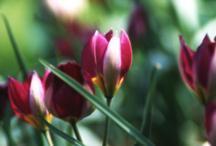 Tulips_tulipa_humilis_persian_pearl-1.full
