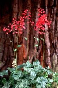 Coral Bells, 'Widar'