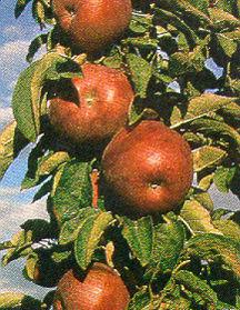 Apple Tree, Single Stem 'Northpole'™