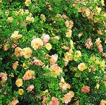 Rose, Antique 'Fortune's Double Yellow' (1845)