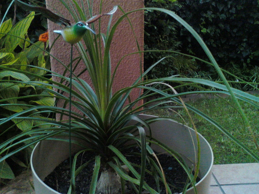 Palms_and_cycads_nolina_recurvata-1.full