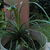 Palms_and_cycads_nolina_recurvata-1.small