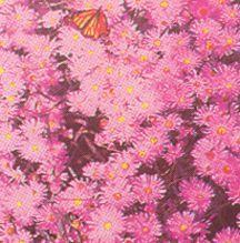 Starflower, 'Pink Beauty'