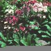 Perennials_primula_japonica-1.thumb
