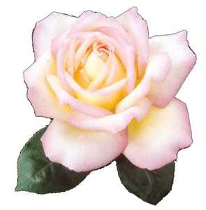 Rose, Hybrid Tea 'Peace'