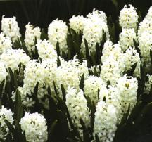 Hyacinth, Dutch 'Carnegie'