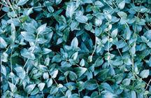 Periwinkle, Big Leaf
