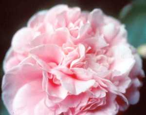 Camellia, Japanese