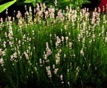 Lavender, 'Jean Davis'