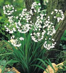 Allium, Naples Ornamental