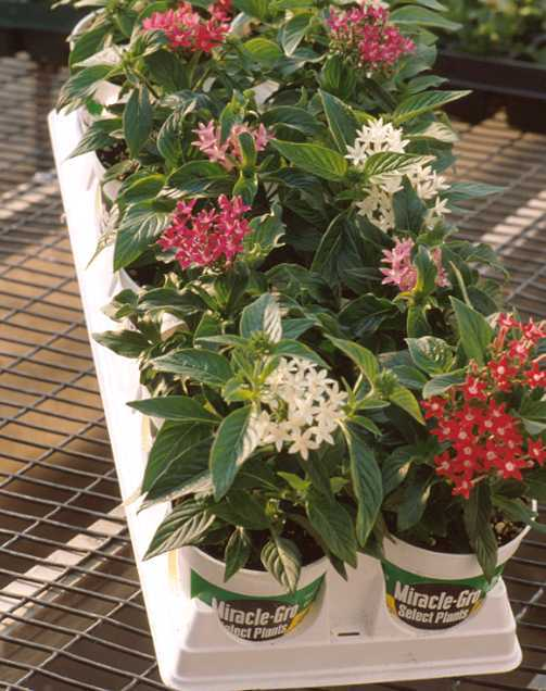 Annuals_pentas_sp.-7.full