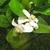 Ponderosa_lemon_blooms_92909.small