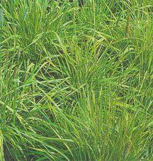 Grass, Golden Meadow Foxtail