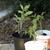 Tomato_plants.small
