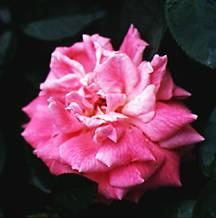 Rose, Antique Tea 'Beauty of Rosemawr' (1903)