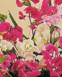 Sweet Pea, Perennial 'Mix'