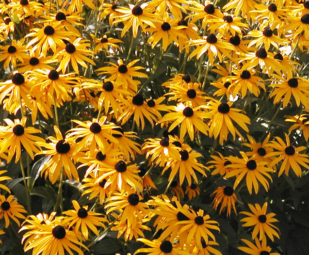 Coneflowers_rudbeckia_hirta_indian_summer.full