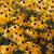 Coneflowers: Rudbeckia hirta 'Indian Summer'