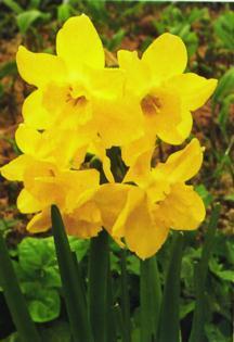 Daffodils_and_narcissus_narcissus_jonquilla_pipit-1.full