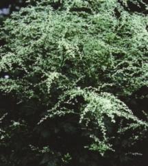Artemisia_artemisia_lactiflora-1.full