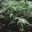 White Mugwort
