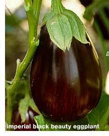 Imperial_balck_beauty_eggplant.detail