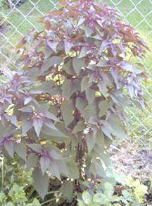Perennials_eupatorium_rugosum_chocolate-1.full