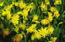 Daffodils_and_narcissus_narcissus_minor_pumilus_plenus-1.full