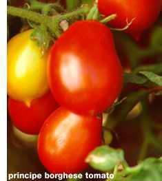 Roma_tomato.large