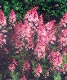 Miterwort, False 'Pink Bouquet'