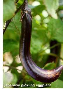 Japanese_pickling_eggplant.detail
