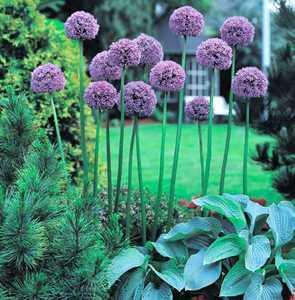 Allium, Ornamental 'Gladiator'