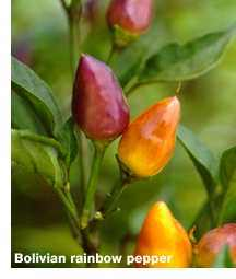 Bolivian_rainbow_peppers.detail