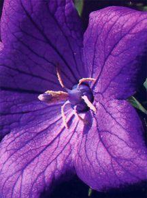 Balloon Flower, 'Misato Purple'